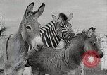 Image of Zonkey California United States USA, 1953, second 43 stock footage video 65675023023