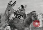 Image of Zonkey California United States USA, 1953, second 44 stock footage video 65675023023