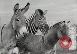 Image of Zonkey California United States USA, 1953, second 45 stock footage video 65675023023