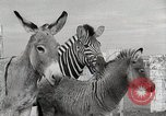 Image of Zonkey California United States USA, 1953, second 46 stock footage video 65675023023