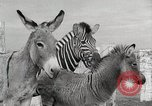 Image of Zonkey California United States USA, 1953, second 47 stock footage video 65675023023
