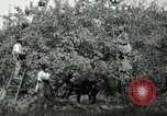 Image of apple orchards United States USA, 1916, second 13 stock footage video 65675030537