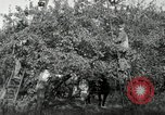 Image of apple orchards United States USA, 1916, second 15 stock footage video 65675030537