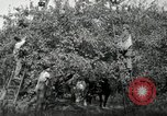 Image of apple orchards United States USA, 1916, second 16 stock footage video 65675030537