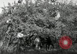 Image of apple orchards United States USA, 1916, second 17 stock footage video 65675030537