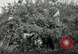 Image of apple orchards United States USA, 1916, second 18 stock footage video 65675030537