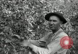Image of apple orchards United States USA, 1916, second 20 stock footage video 65675030537