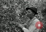 Image of apple orchards United States USA, 1916, second 21 stock footage video 65675030537