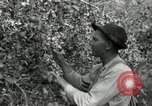 Image of apple orchards United States USA, 1916, second 22 stock footage video 65675030537