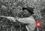 Image of apple orchards United States USA, 1916, second 23 stock footage video 65675030537