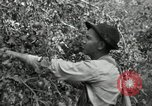 Image of apple orchards United States USA, 1916, second 24 stock footage video 65675030537