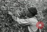 Image of apple orchards United States USA, 1916, second 25 stock footage video 65675030537