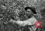 Image of apple orchards United States USA, 1916, second 26 stock footage video 65675030537