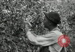 Image of apple orchards United States USA, 1916, second 27 stock footage video 65675030537