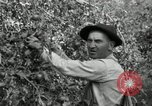 Image of apple orchards United States USA, 1916, second 28 stock footage video 65675030537