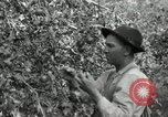 Image of apple orchards United States USA, 1916, second 29 stock footage video 65675030537