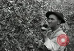 Image of apple orchards United States USA, 1916, second 31 stock footage video 65675030537