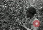 Image of apple orchards United States USA, 1916, second 33 stock footage video 65675030537