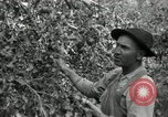 Image of apple orchards United States USA, 1916, second 35 stock footage video 65675030537