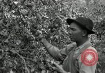 Image of apple orchards United States USA, 1916, second 36 stock footage video 65675030537