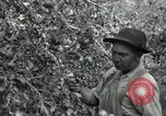 Image of apple orchards United States USA, 1916, second 39 stock footage video 65675030537