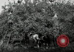 Image of apple orchards United States USA, 1916, second 41 stock footage video 65675030537