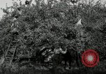 Image of apple orchards United States USA, 1916, second 42 stock footage video 65675030537