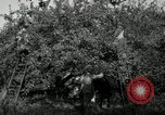Image of apple orchards United States USA, 1916, second 44 stock footage video 65675030537