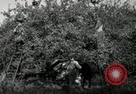Image of apple orchards United States USA, 1916, second 45 stock footage video 65675030537
