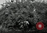 Image of apple orchards United States USA, 1916, second 46 stock footage video 65675030537