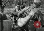 Image of apple orchards United States USA, 1916, second 58 stock footage video 65675030537