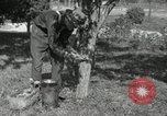 Image of apple grafting techniques United States USA, 1916, second 2 stock footage video 65675030538