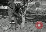 Image of apple grafting techniques United States USA, 1916, second 3 stock footage video 65675030538