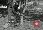 Image of apple grafting techniques United States USA, 1916, second 8 stock footage video 65675030538