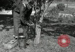 Image of apple grafting techniques United States USA, 1916, second 9 stock footage video 65675030538