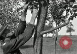 Image of apple grafting techniques United States USA, 1916, second 23 stock footage video 65675030538