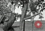 Image of apple grafting techniques United States USA, 1916, second 28 stock footage video 65675030538