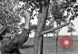 Image of apple grafting techniques United States USA, 1916, second 30 stock footage video 65675030538