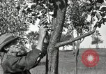 Image of apple grafting techniques United States USA, 1916, second 31 stock footage video 65675030538