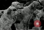 Image of Dog show Madison New Jersey USA, 1934, second 12 stock footage video 65675030596