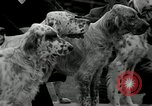 Image of Dog show Madison New Jersey USA, 1934, second 13 stock footage video 65675030596