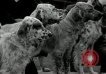 Image of Dog show Madison New Jersey USA, 1934, second 15 stock footage video 65675030596