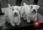 Image of Dog show Madison New Jersey USA, 1934, second 21 stock footage video 65675030596