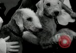 Image of Dog show Madison New Jersey USA, 1934, second 37 stock footage video 65675030596