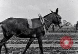 Image of mule drawn plow South Carolina United States USA, 1936, second 33 stock footage video 65675031579