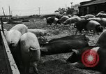 Image of barnyard of pigs United States USA, 1950, second 3 stock footage video 65675032166