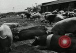 Image of barnyard of pigs United States USA, 1950, second 5 stock footage video 65675032166