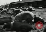 Image of barnyard of pigs United States USA, 1950, second 7 stock footage video 65675032166