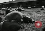 Image of barnyard of pigs United States USA, 1950, second 8 stock footage video 65675032166