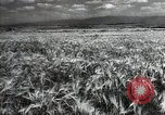 Image of new harvest Turkmenistan, 1949, second 9 stock footage video 65675032367